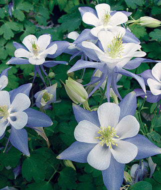 Columbine, Blue Star, , large