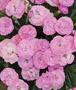 Dianthus, Fruit Punch Sweetie Pie , , large