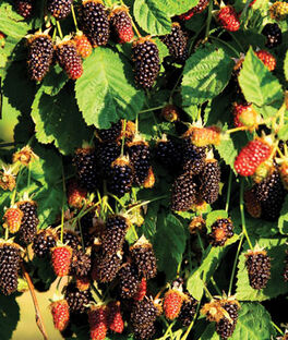 Marionberry, , large