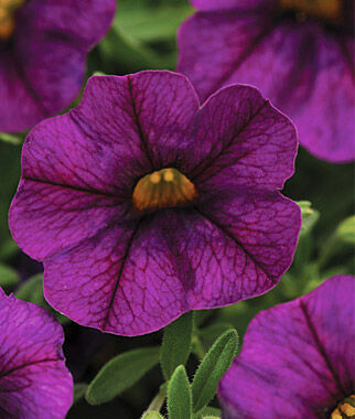 Calibrachoa, Kabloom Deep Blue 3 Plants, Annuals, Annual Flowers, Annual Flower Plants, Flower Plants, Flowering Annuals, Bedding Plants