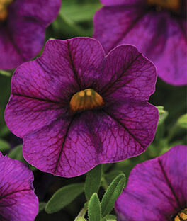 Calibrachoa, Kabloom Deep Blue, , large
