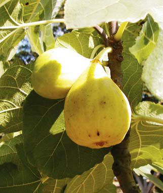 Fig, White Marseilles, , large