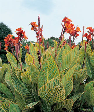 Canna, Variegated Pretoria 1 Plant (Bulb), Annuals, Annual Flowers, Annual Flower Plants, Flower Plants, Flowering Annuals, Bedding Plants