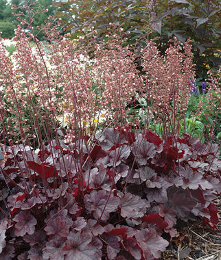 Heuchera, Grape Expectations, , large