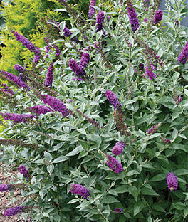 Buddleia, Miss Violet, , large