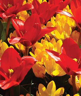 Mix, Tulip Showwiner and Crocus Yellow Mammoth, , large