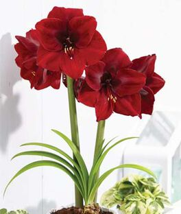 Amaryllis, Grand Diva, , large