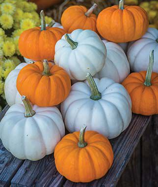 Pumpkin, Mini Harvest Blend, , large