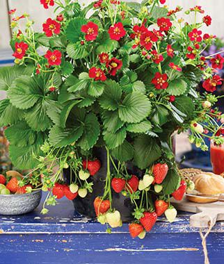 Strawberry Plants - Flavorful Fruit Plants at Burpee Seeds
