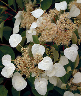 Schizophragma, Moonlight, , large