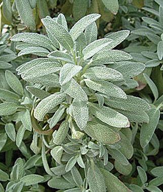 Sage, Dwarf 3 Plants, Sage Seeds, Sage Plants, Sage, Garden Sage, Herb Seeds, Herb Plants, Herbs, Garden Seed, Herb Garden