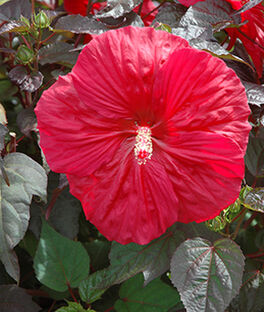 Hibiscus, Mars Madness, , large