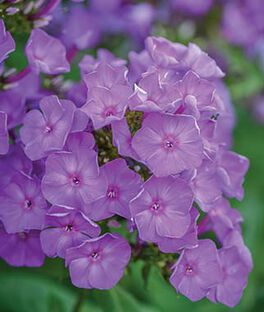 Phlox, Blue Paradise, , large