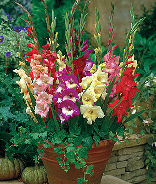 Gladiolus, Glamini Mix, , large