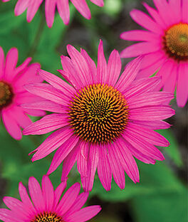 Echinacea, Pink Shimmer, , large