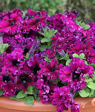 Petunia, Espresso Frappe Ruby Hybrid 3 Plants, Annuals, Annual Flowers, Annual Flower Plants, Flower Plants, Flowering Annuals, Bedding Plants