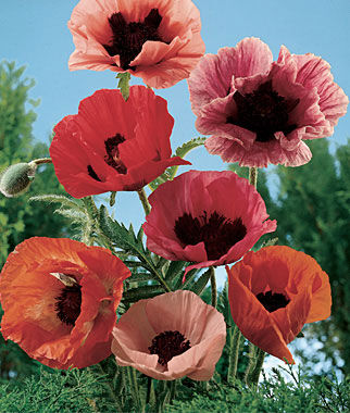 Poppy, Oriental Poppy Mix, , large