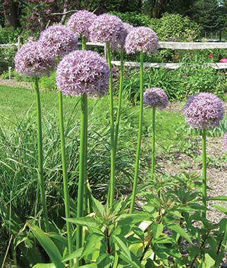 allium giganteum alliums at. Black Bedroom Furniture Sets. Home Design Ideas