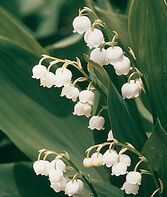 Lily of the Valley  , , large