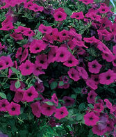 Petunia, Purple Wave™ Hybrid, , large
