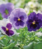 Pansy, Ocean Breeze Mix, , large