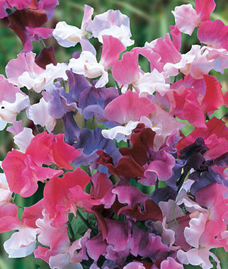 Sweet Pea, Sweet Dreams Mix, , large