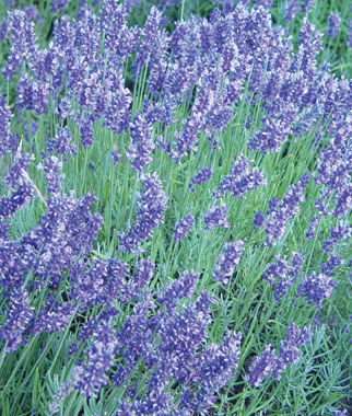 English Lavender Seeds and Plants, Annual Flowers at ...