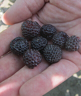 Raspberry, Niwot, , large