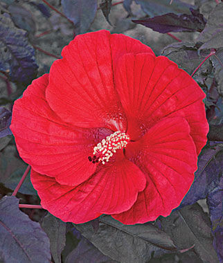 hibiscus seeds and plants  grow pink swirl, perennial flowers at, Beautiful flower
