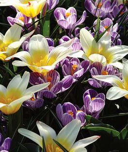 Mix, Tulip Johann Strauss and Crocus Pickwick , , large