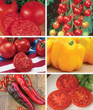 Tomato, All-Purpose Tomato Collection 6 Plants, Tomatoes, Tomato Seeds, Beefsteak Tomatoes, Slicing Tomatoes, Tomato Starts, Tomato Plants