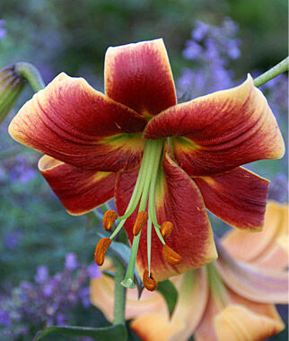Lily Oriental, Red Morning, , large