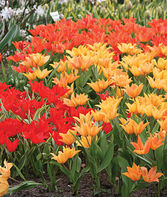 Tulip, Lily Flowering Mix, , large