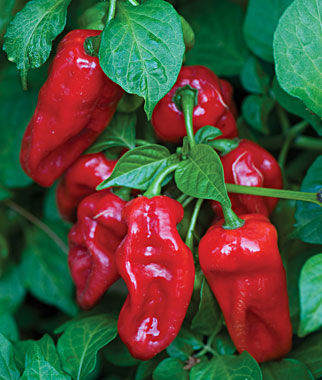 Pepper, Hot, Zavory, , large