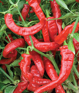 Pepper, Sweet, Nardella Organic, , large
