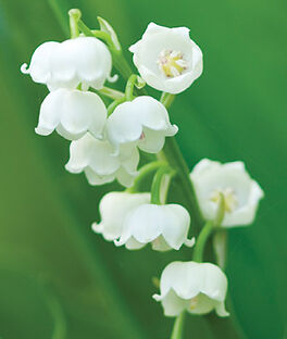 Lily of the Valley Bordeaux, , large
