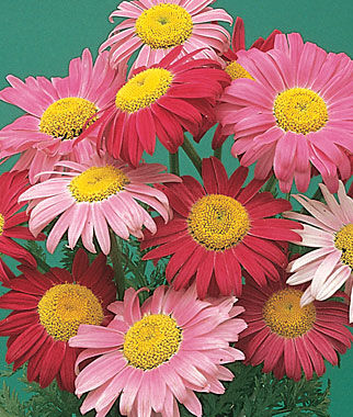 Mixed Colors Painted Daisy Seeds And Plants Gardening At Burpee Com