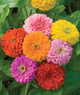 Zinnia, Giant Flowered Mixed Colors, , large