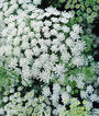 Ammi Majus, Queen Anne's Lace, , large