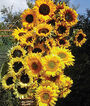Sunflower, Pristine Mix Hybrid, , large