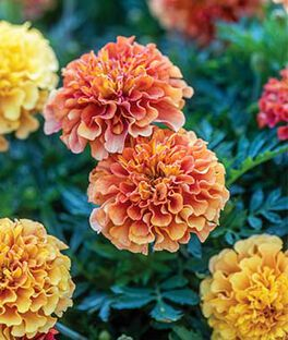 Marigold, Strawberry Blonde, , large