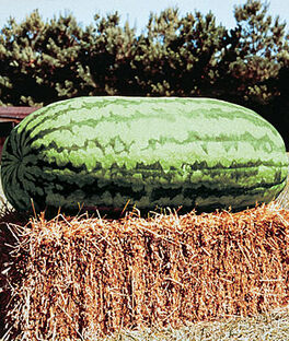 Watermelon, Carolina Cross  #183 Heirloom, , large