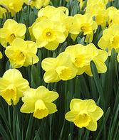 Daffodil, Camelot, , large