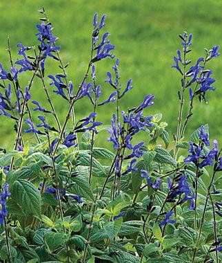 salvia black u0026 blue large - Salvia Plant