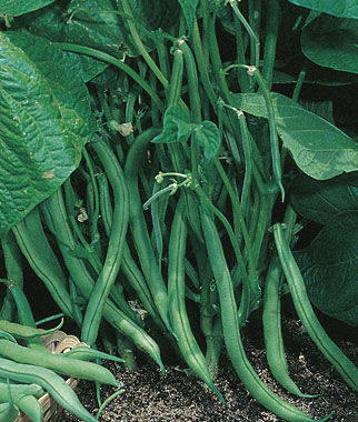 Blue Lake 274 Bush Bean Seeds And Plants Vegetable