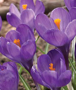 Crocus vernus, Flower Record, , large