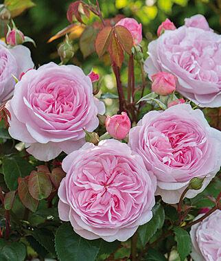 Rose, Olivia Rose Austin, , large