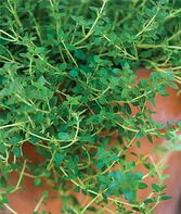 Thyme, Common, , large