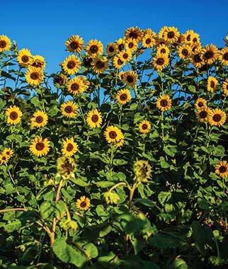 Sunflower, Treasure Mountain Hybrid, , large