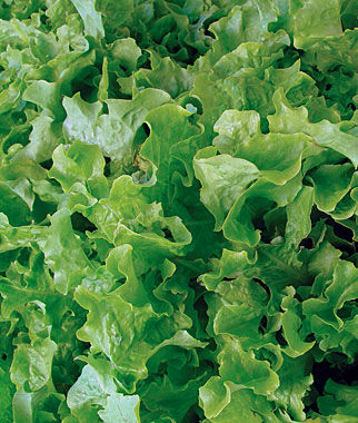 Lettuce, Salad Bowl Green Organic, , large